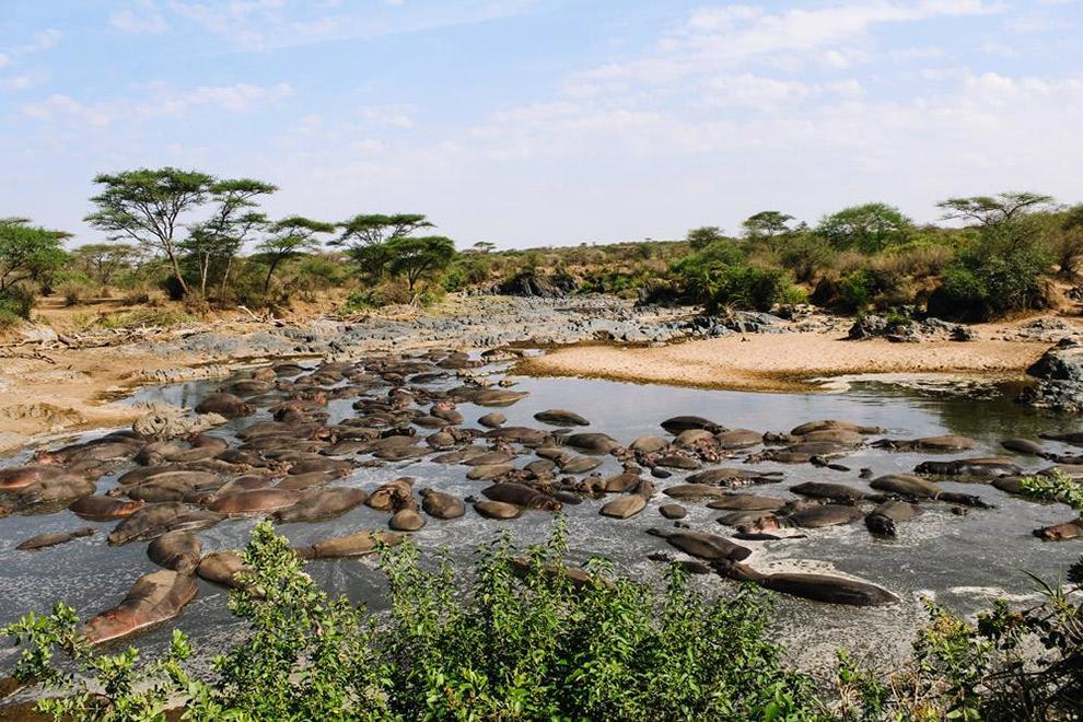 Nijlpaarden spotten in het water tijdens safari in Afrika