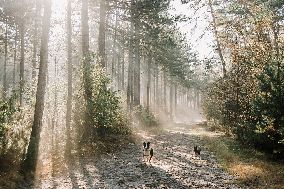 Honden lopen in het bos tussen de zonnestralen door