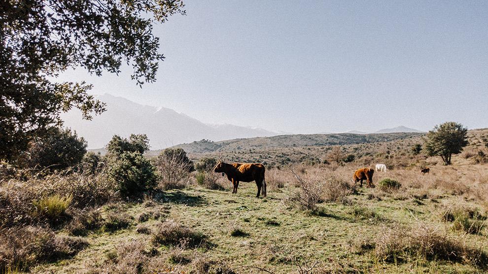 Uitgestrekte vlakte vol koeien en imposante bergen