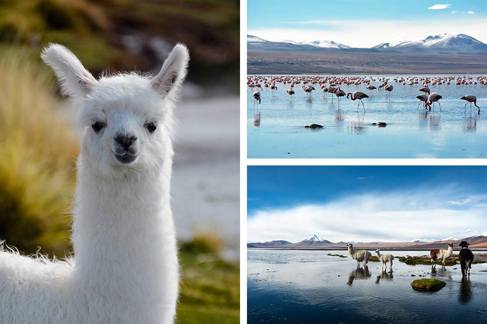 Lama's an flamingo's spotten in de hoogvlaktes van Bolivia