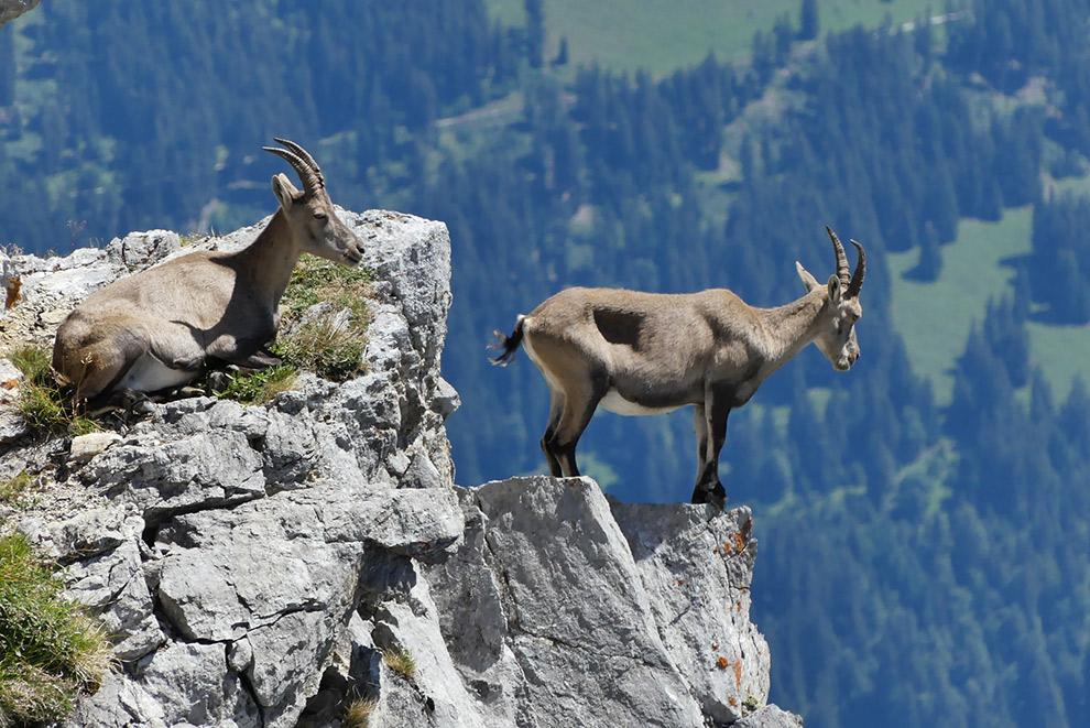 Twee berggeiten op helling natuurpark Gruyère-Pays-d'Enhaut