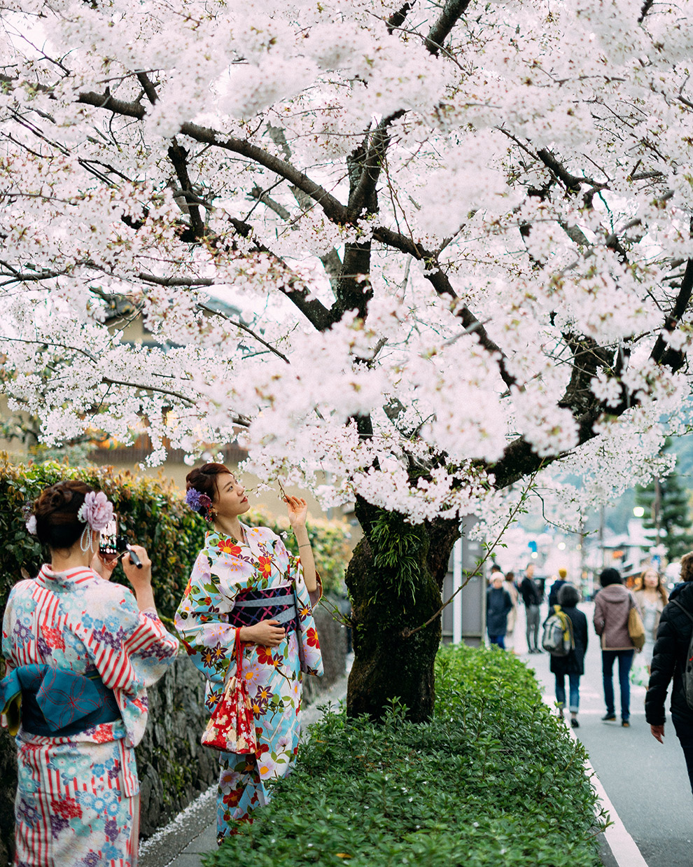 Local Japanese in traditional clothing under cherry blossom tree
