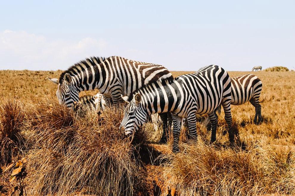 Zebra's van dichtbij tijdens Safari in Afrika