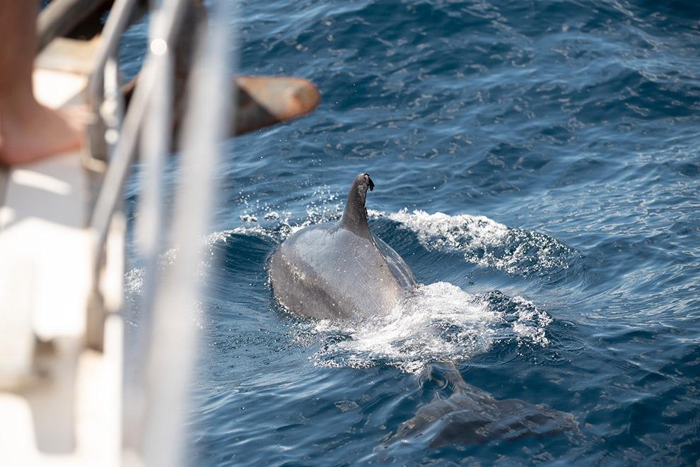 Potvis komt naar oppervlak dichtbij boot in Tenerife