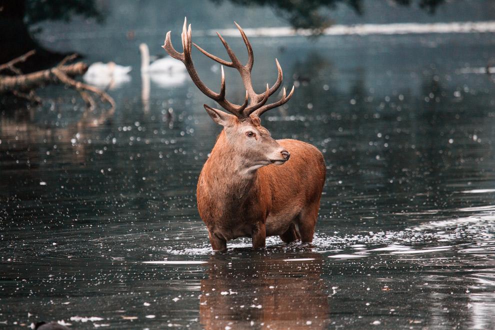 Een edelhert in het water