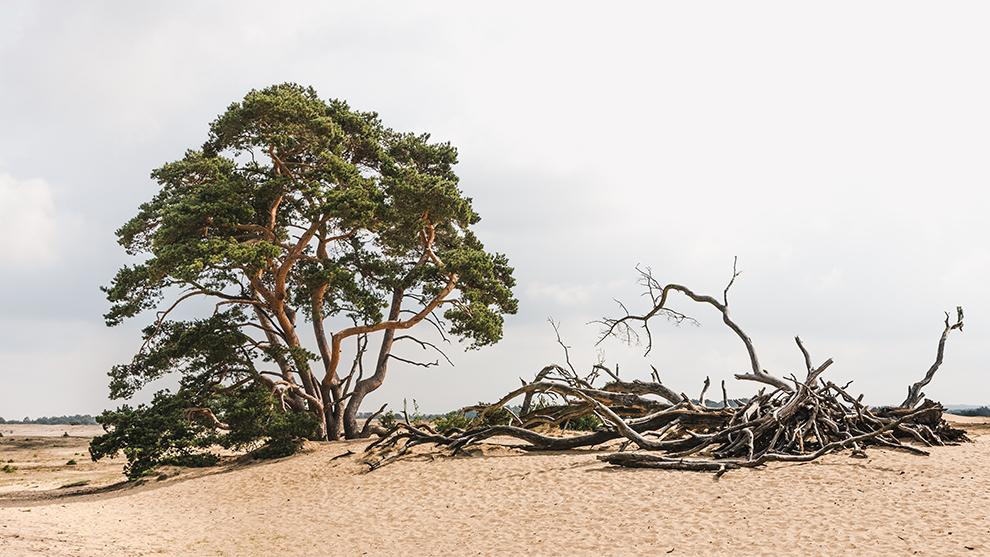 Typische Veluwse bomen omringd door zand en wolken