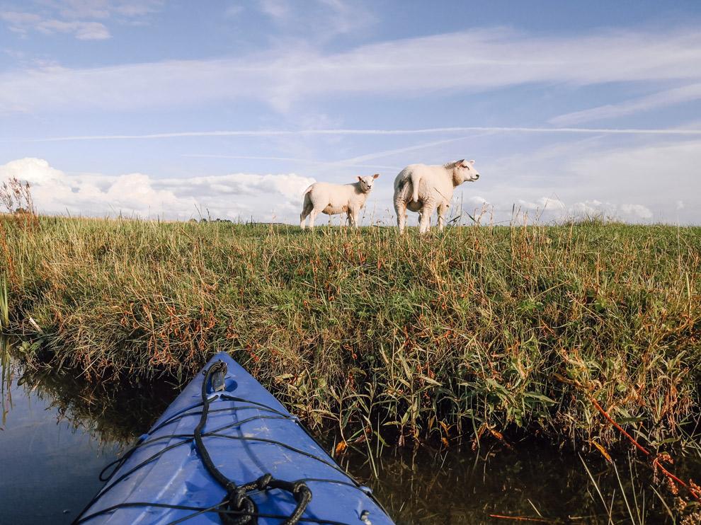 Uitzicht op lammetjes vanuit de Kajak in het Lauwersmeergebied