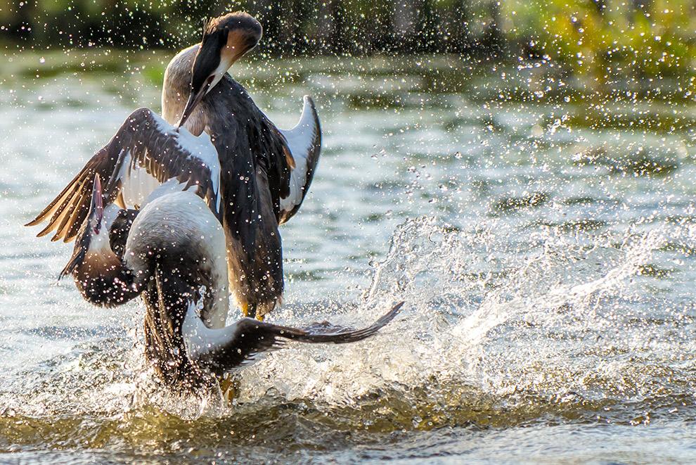 Twee vogels vechten in het water
