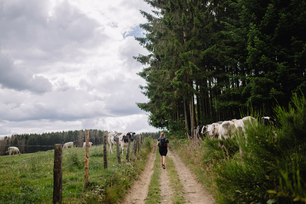 Wandelen tussen de koeien en weilanden