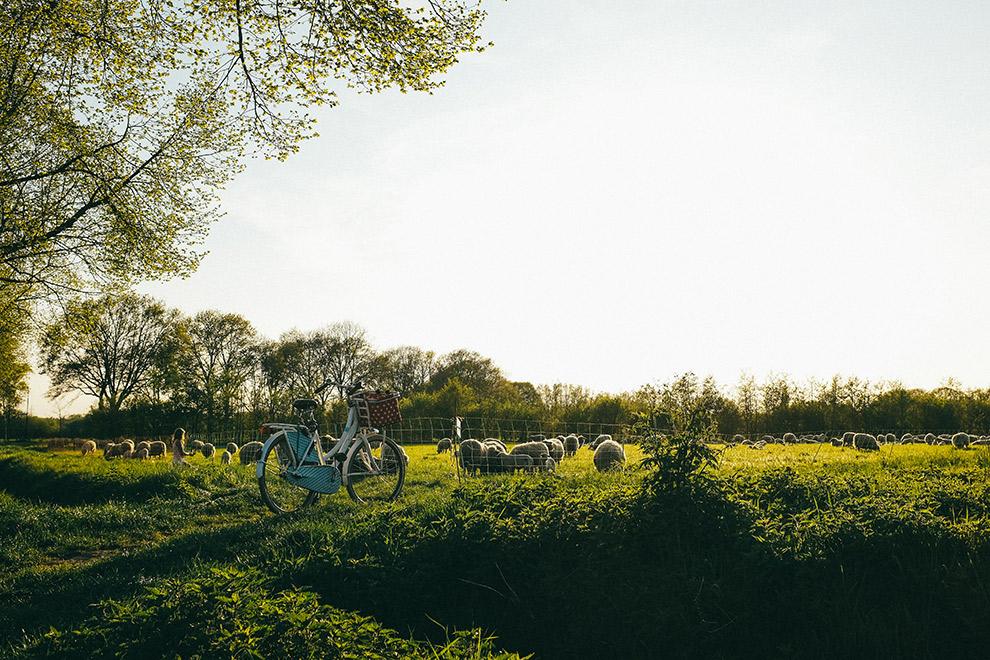 Fietsen langs groene weilanden vol schaapjes in Nederlands landschap