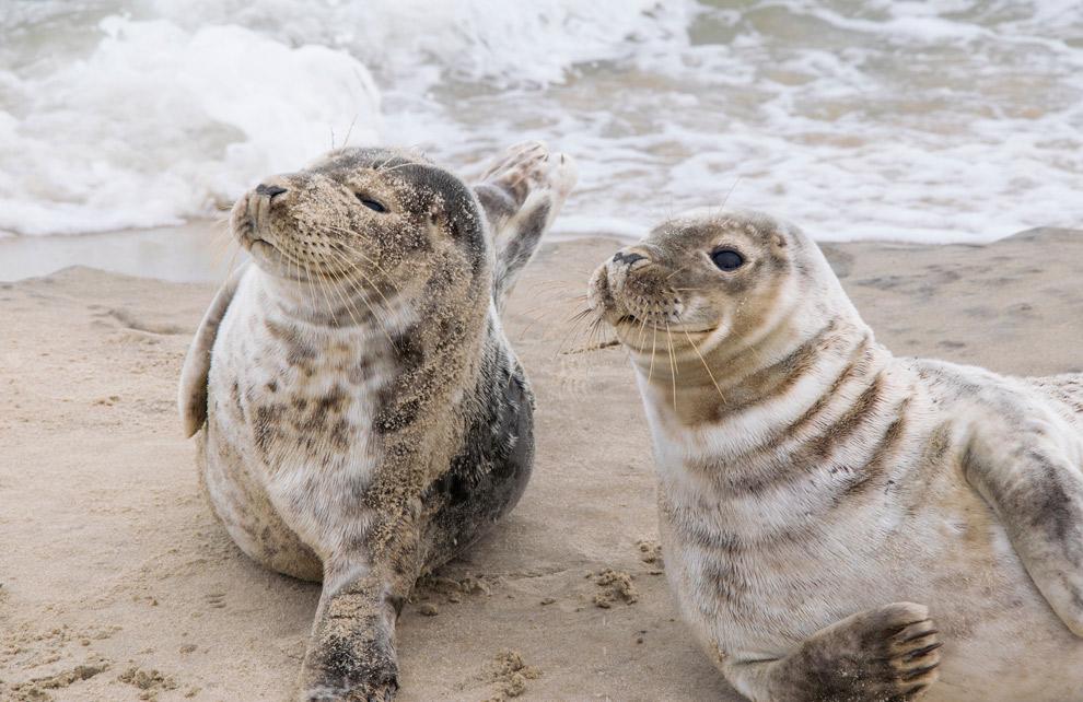Zeehonden op het strand in Nederland