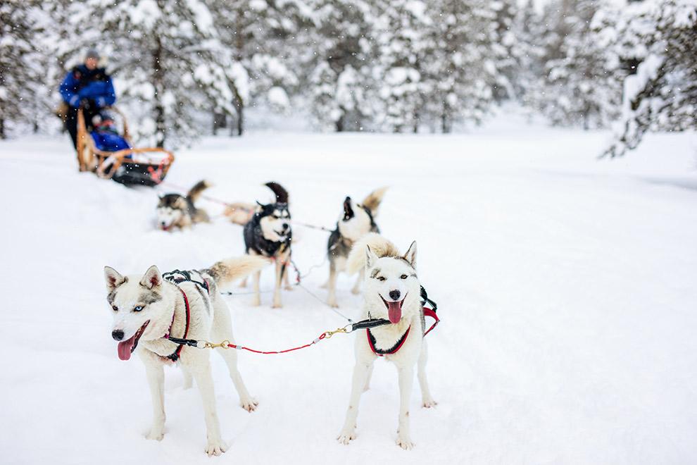 Husky slee in de sneeuw in Fins Lapland
