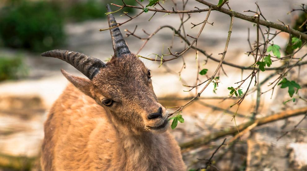 Steenbok eet bladeren van tak