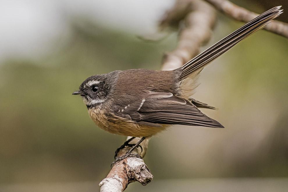 Klein bruin vogeltje in Nieuw-Zeeland