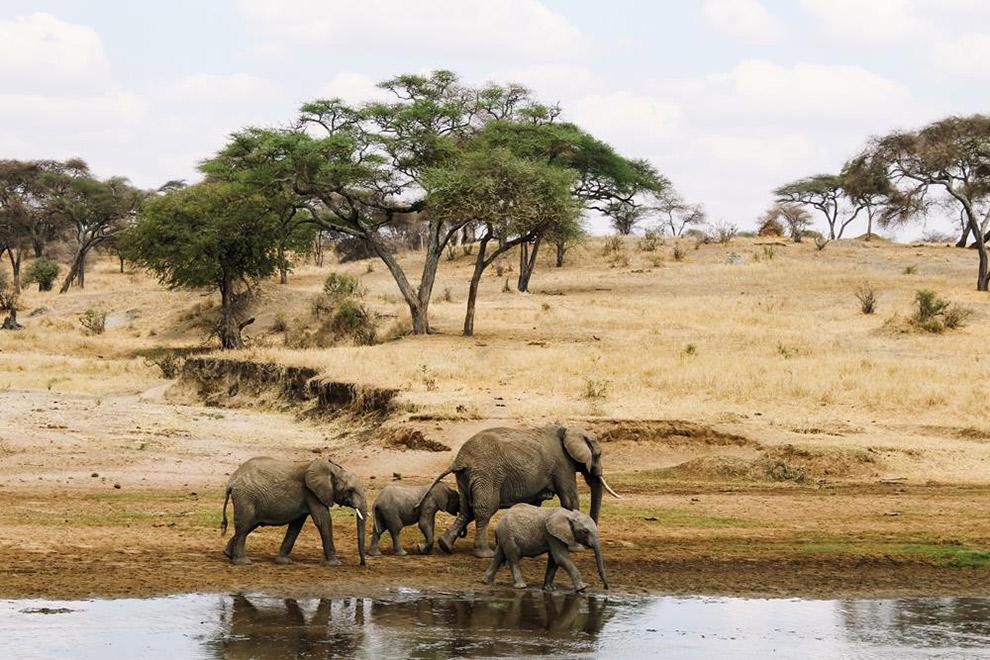 Olifanten lopen aan het waterfront tijdens safari in Afrika