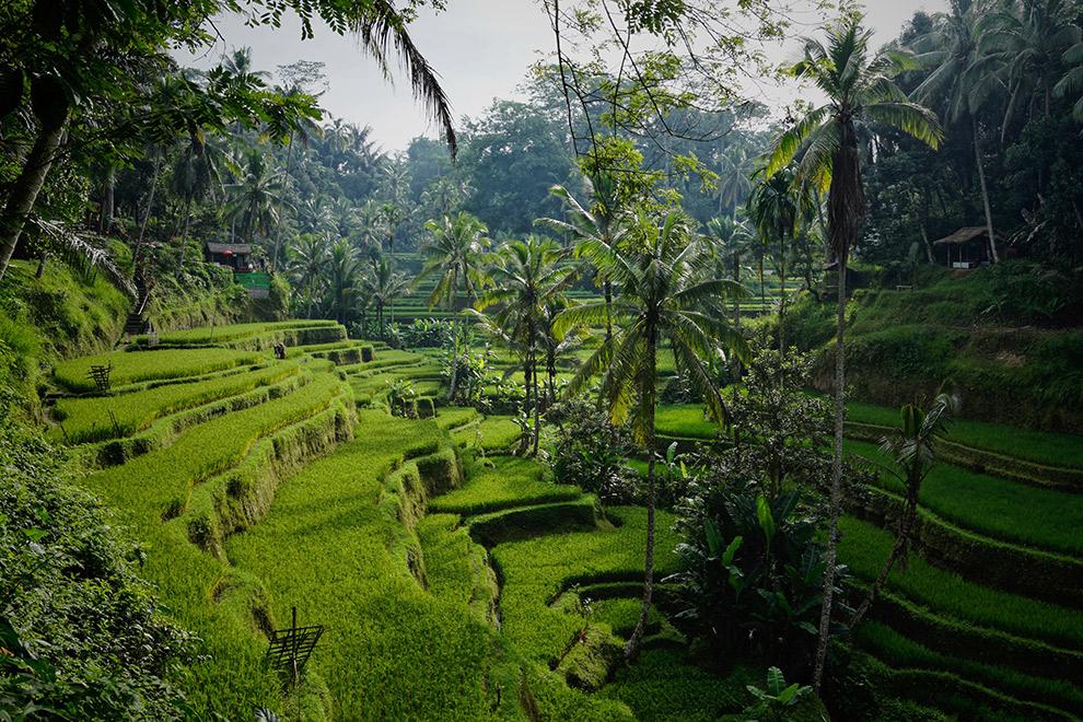 Groene en tropische rijstvelden op Bali
