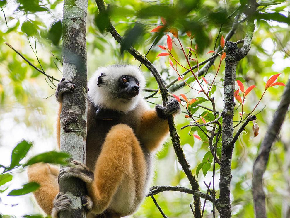 Aapje klimt in boom in Madagaskar