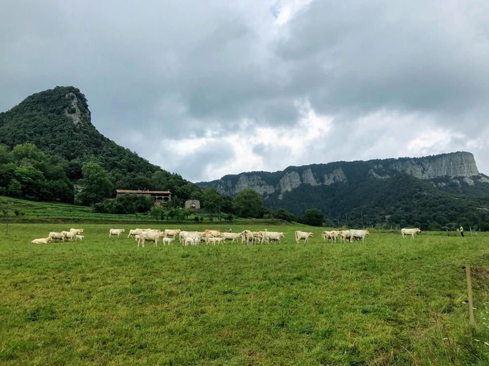 Koeien in de wei in Catalonië, Spanje