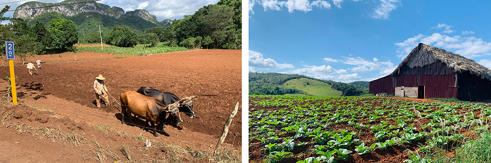 Lokale bevolking werkt ouderwets op het land in de Viñales Vallei in Cuba