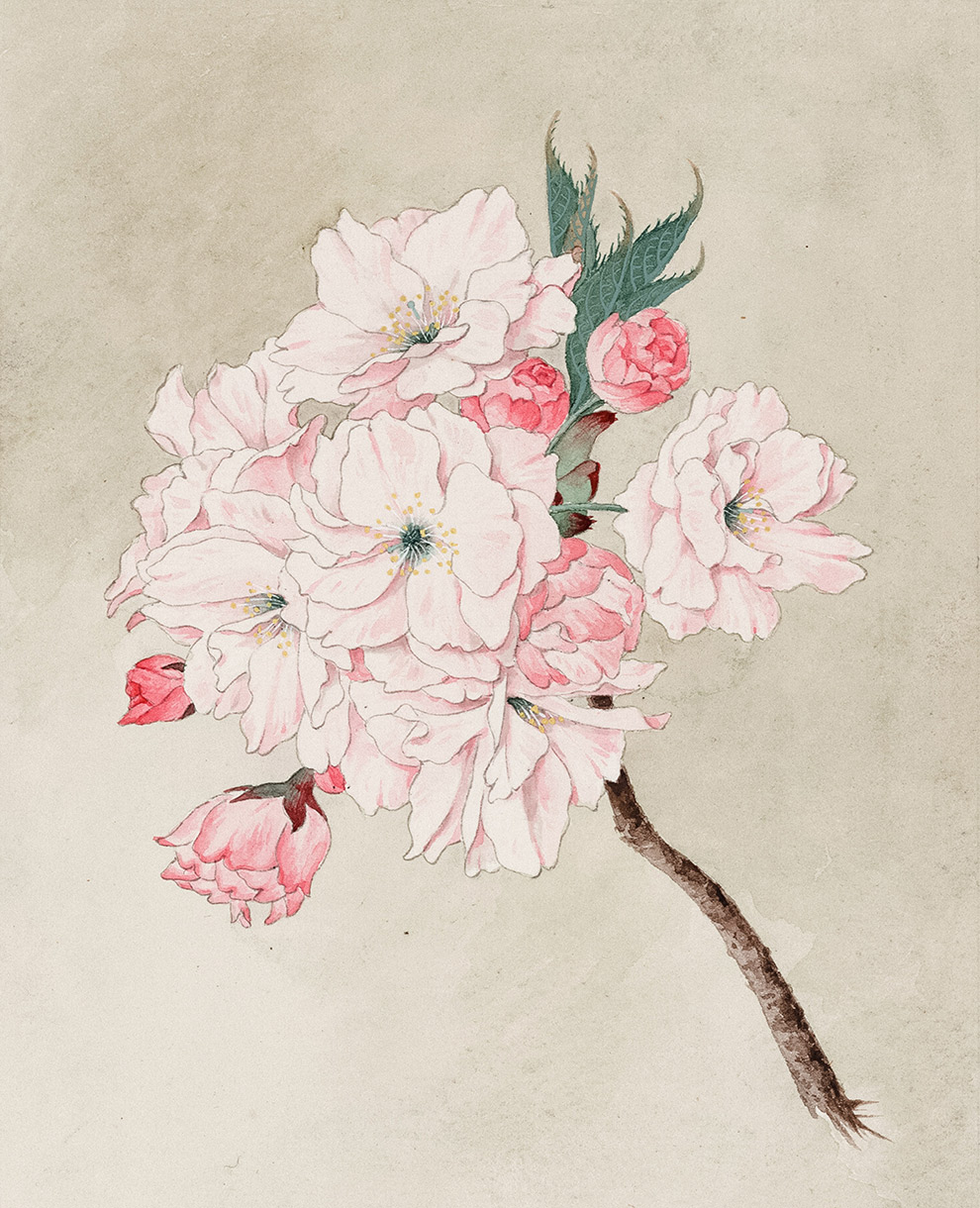 Illustration of cherry blossom on light brown background