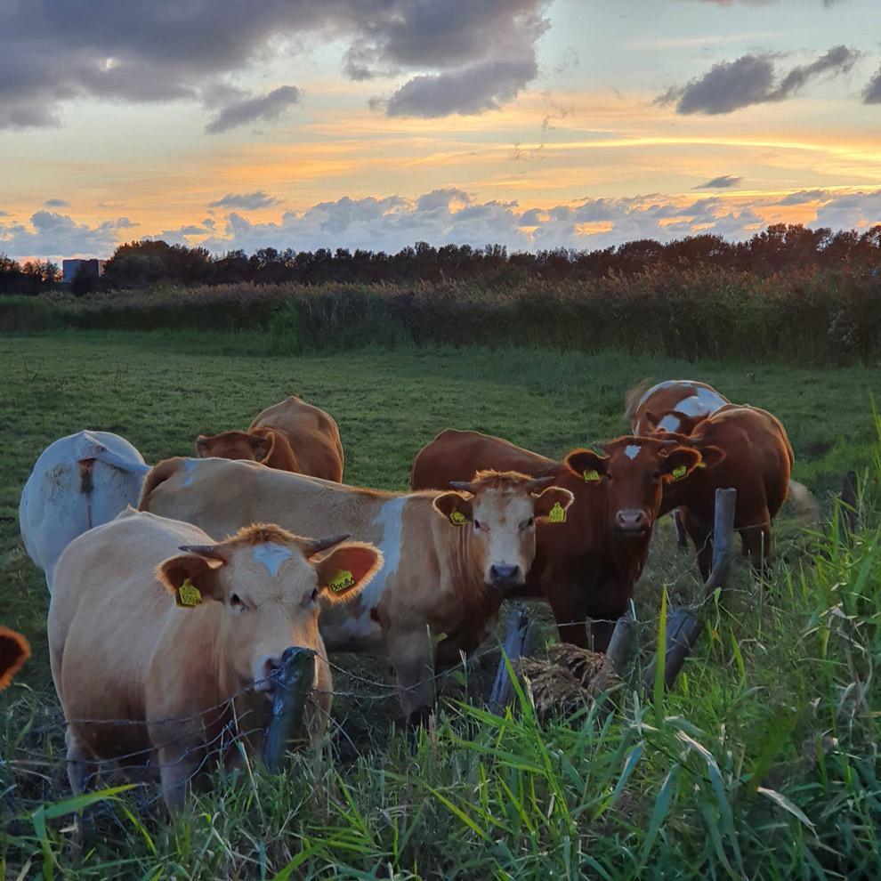 Nieuwsgierige koeien in de wei
