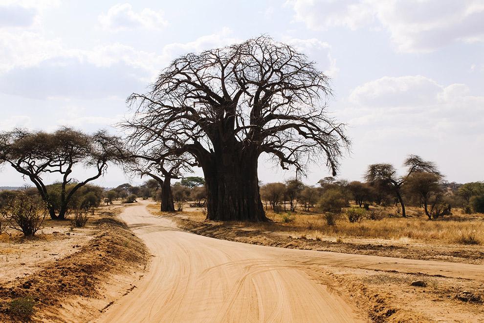 Grote imposante bomen kenmerken Nationaal Park Tarangire in Afrika