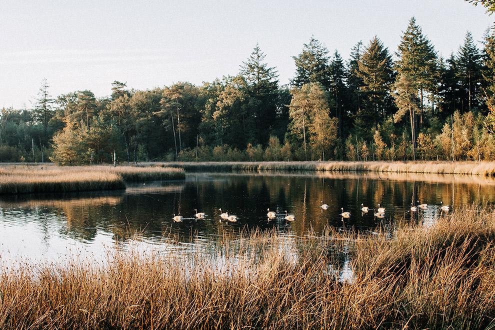 Vogels rusten in het water in de Nederlandse natuur