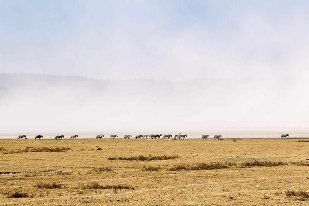 Horde zebra's in de verte op een rij