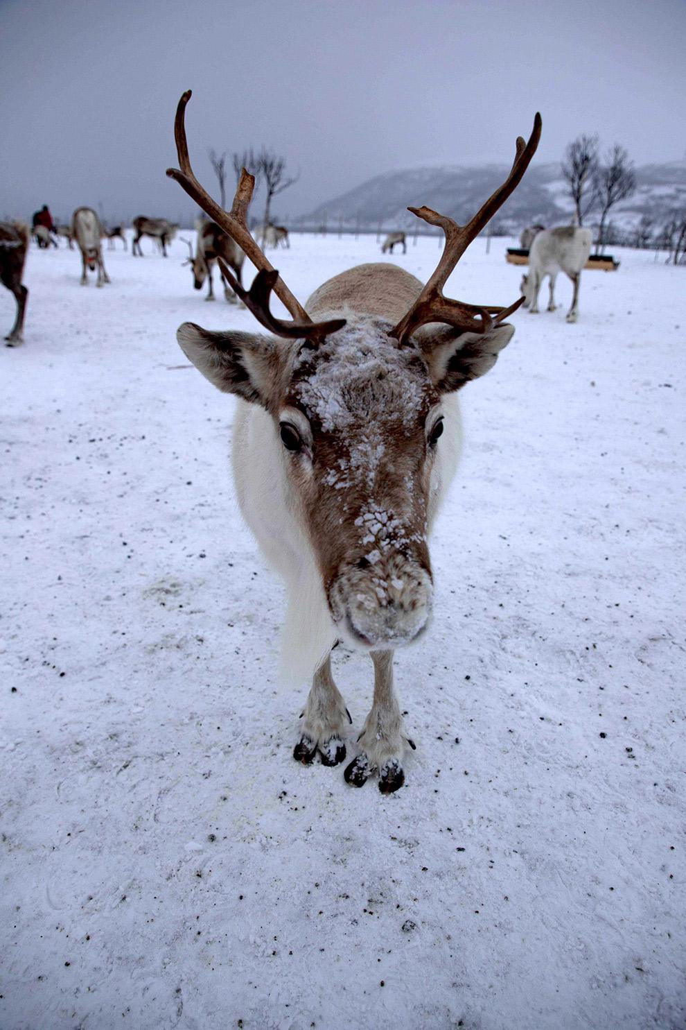 Rendier in Noorwegen bedekt met sneeuw