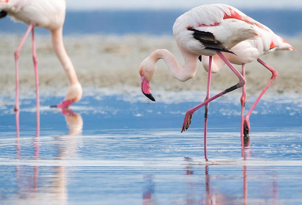 Roze flamingo's spotten in het water