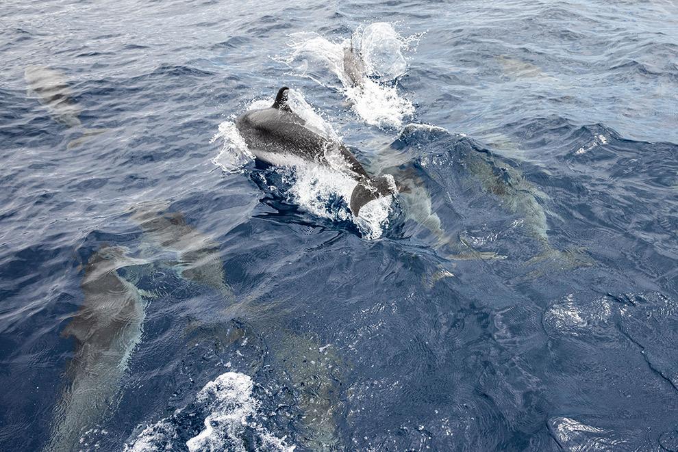 Groep dolfijnen zwemt voor boot uit in blauwe wateren van Tenerife