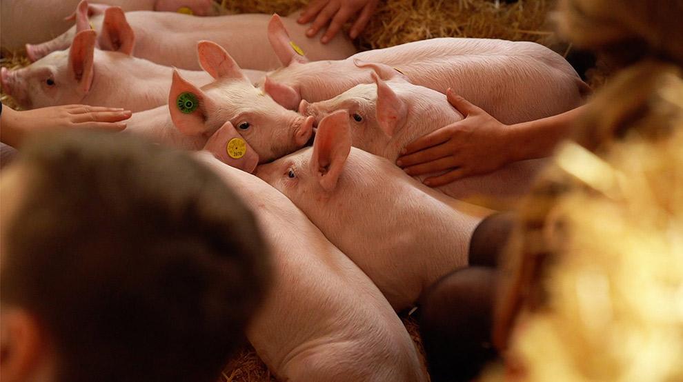 Varkens van de Bij Kato Boerderijbeleving