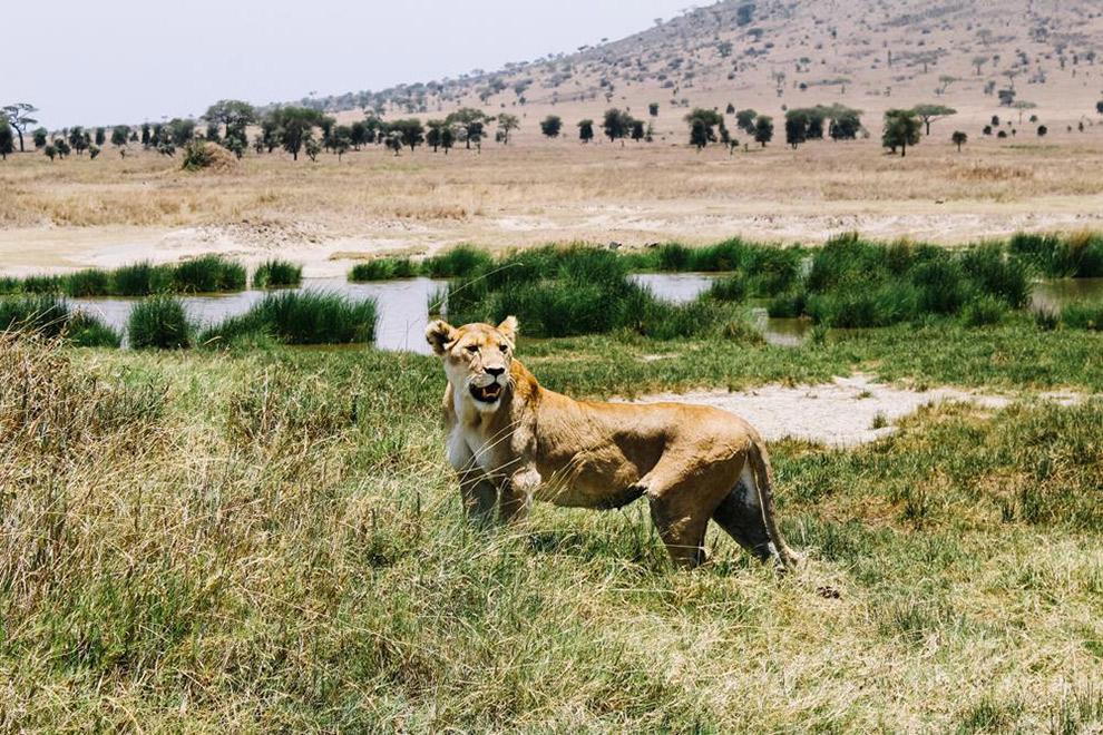 Leeuw spotten tijdens safari in nationale parken van Afrika