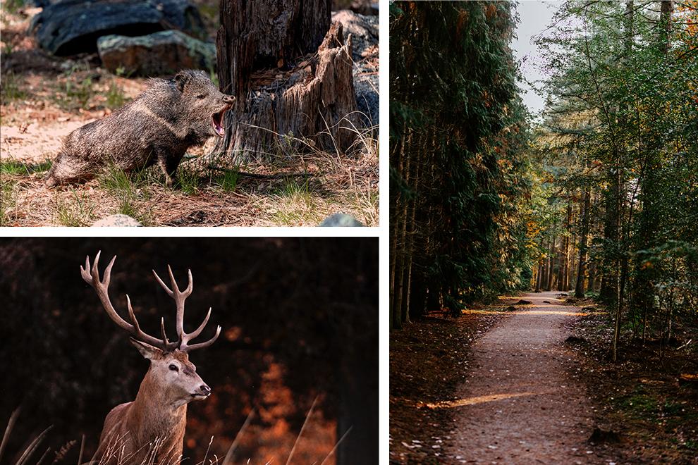 Een collage met een wild zwijn, een edelhert en bossen op de Veluwe