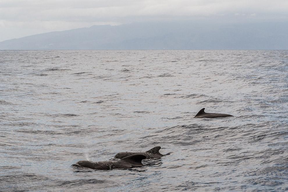 Grienden zwemmen aan het oppervlak in Tenerife