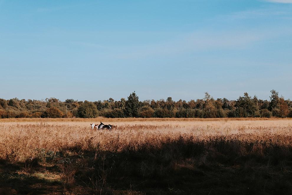 Uitzicht over weiland met koeien in De Groote Peel