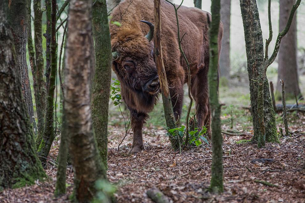 De Wisent: een Europese bizon vastgelegd op camera