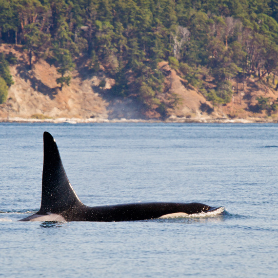 The best place in Canada to spot killer whales