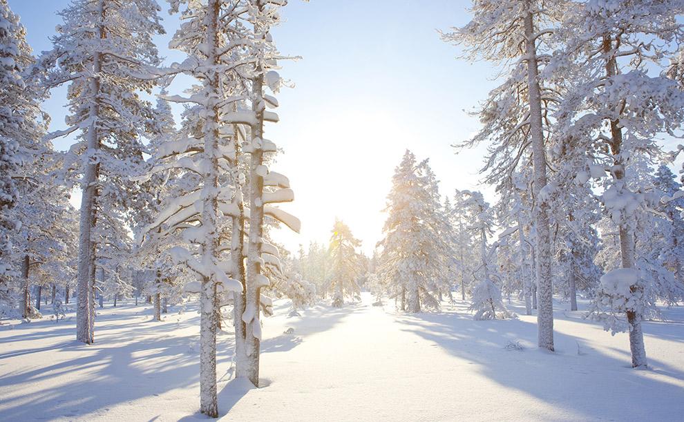 Zon schijnt door de met sneeuw bedekte bomen in Fins Lapland