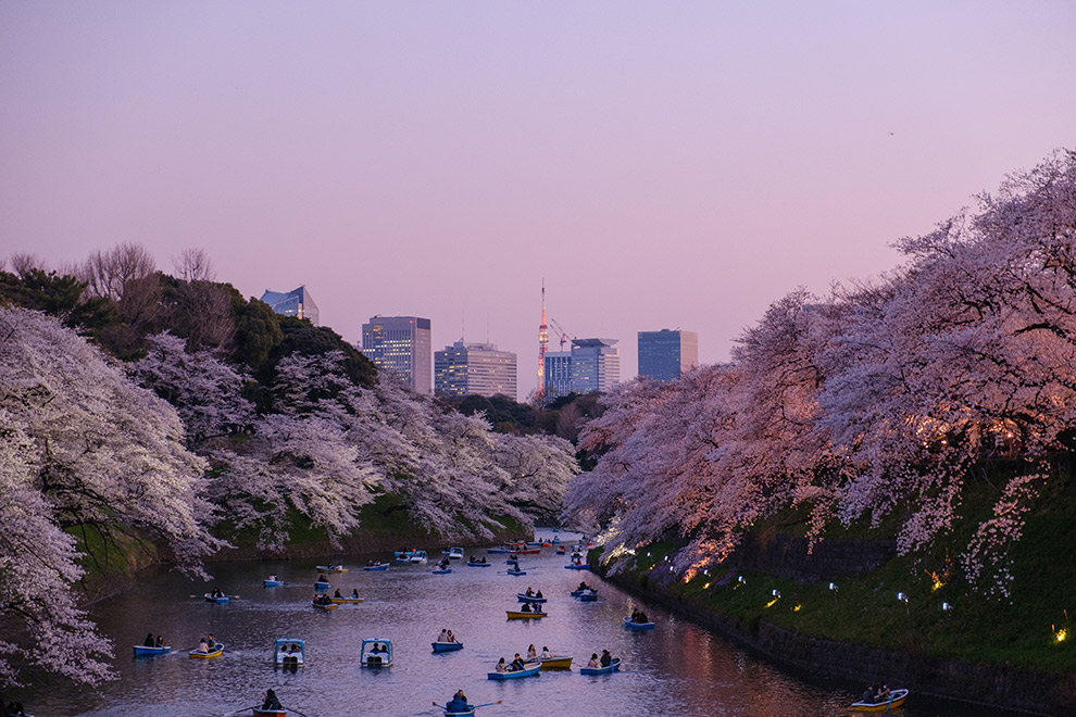 Boats on the water during under cherry blossoms during sunset