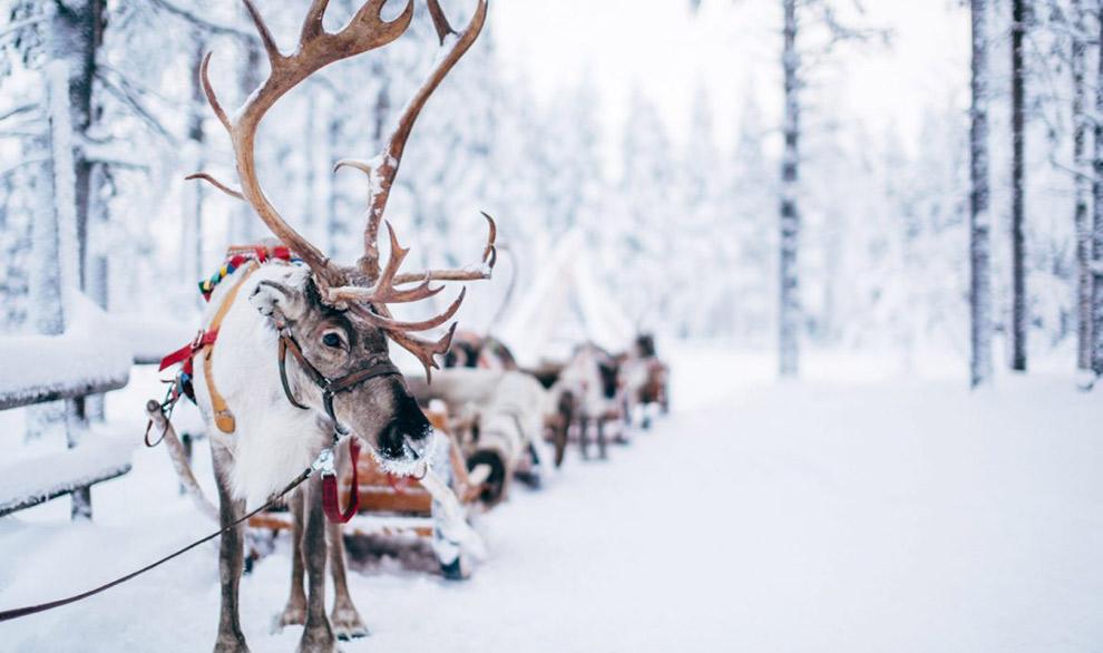 Nomadische rendieren voor een slee in Lapland