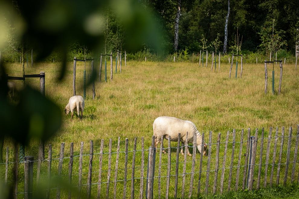 Schapen grazen in de wei