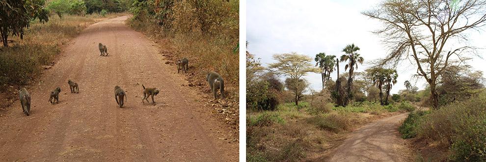 Aapjes spotten in Lake Manyara National Park tijdens Safari