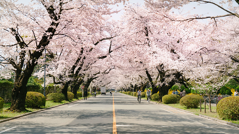 Biking under the sakura trees and cherry blossom flowers
