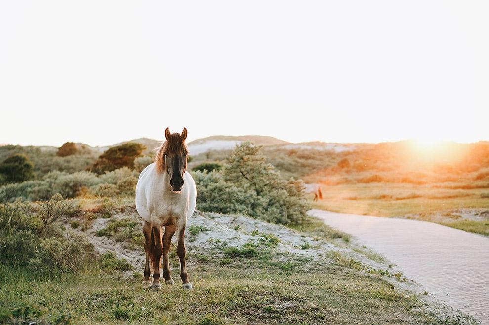 Een paard in de duinen