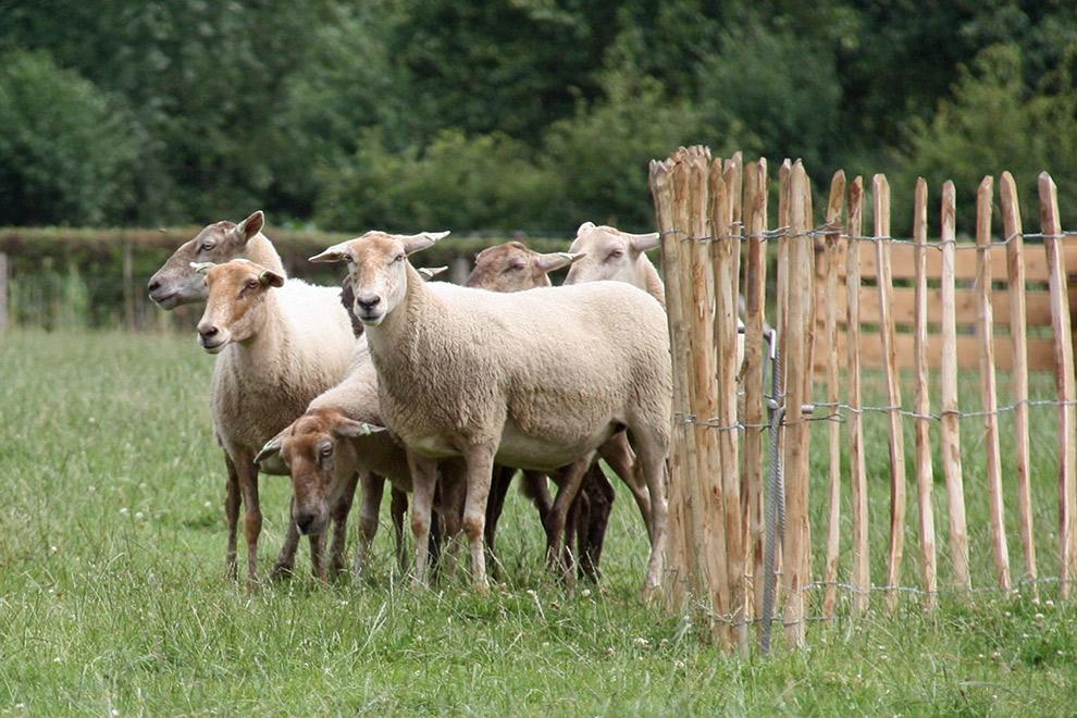Groepje schapen in de wei bij de schaapskooi in schijndel