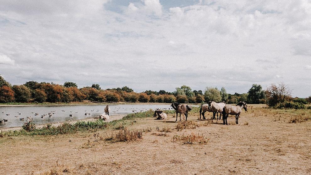 Paarden rusten aan het water in de Nederlandse natuur