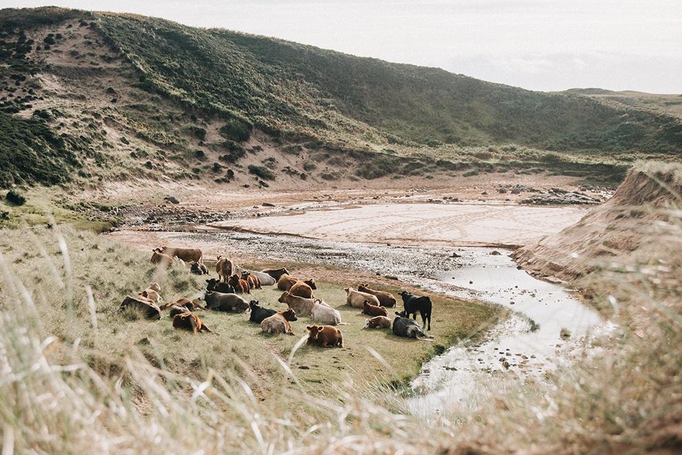 Koeien grazen in het ruige Schotse landschap